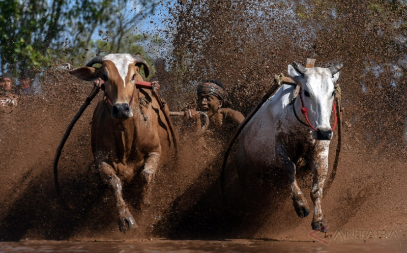 Olahraga Tradisional Pacu Jawi