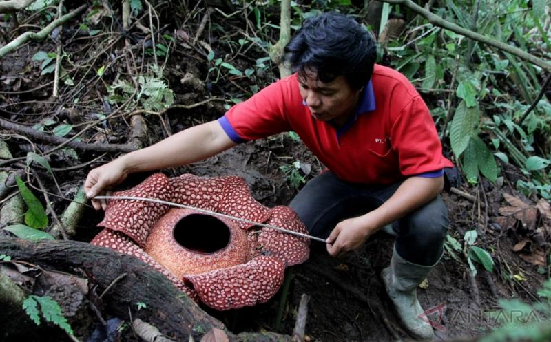 Rafflesia Arnoldi Mekar Sempurna di Bengkulu