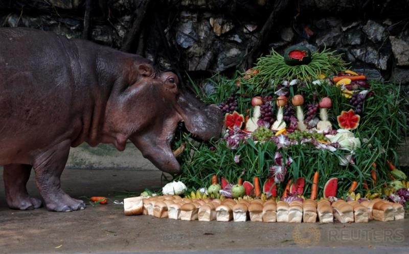 Ultah ke-50, Kuda Nil Kebun Binatang di Bangkok Dapat Hadiah Roti dan Aneka Buah