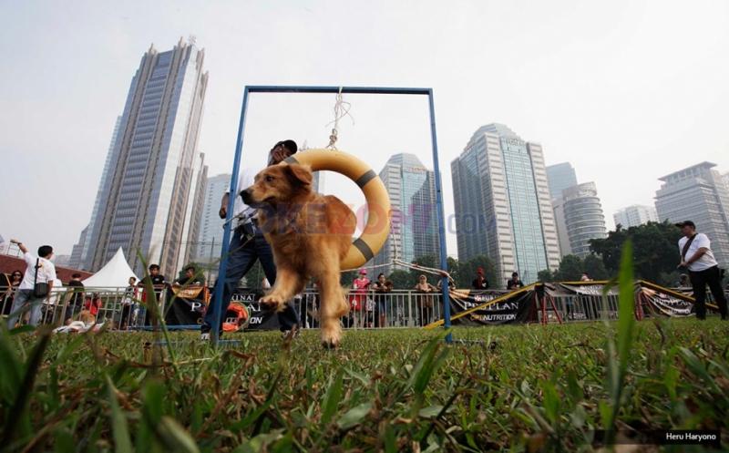 Melihat Serunya Anjing Berlatih Ketangkasan