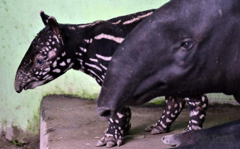 Kelahiran 2 Anak Tapir Asia Tambah Koleksi Kebun Binatang Taman Rimba Jambi