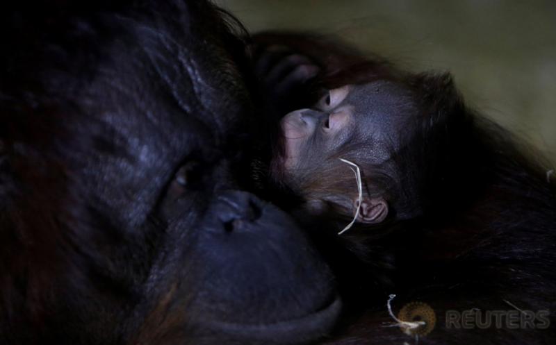 Tengok Canda Orangutan Nuninka Bersama Bayinya yang Baru Lahir