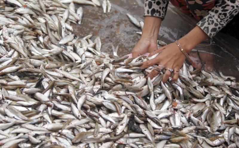 Produksi Ikan Asin Nelayan Pinggiran Phnom Penh Kamboja