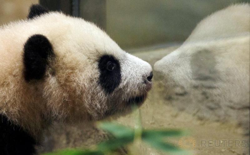 Seekor bayi panda bernama Chulina berada di sebuah kebun binatang di Madrid, Spanyol, Kamis (12/1/2017). Chulina merupakan bayi panda betina yang lari pada Agustus lalu dari induknya bernama Hua Zui Ba. (REUTERS/Sergio Perez)
