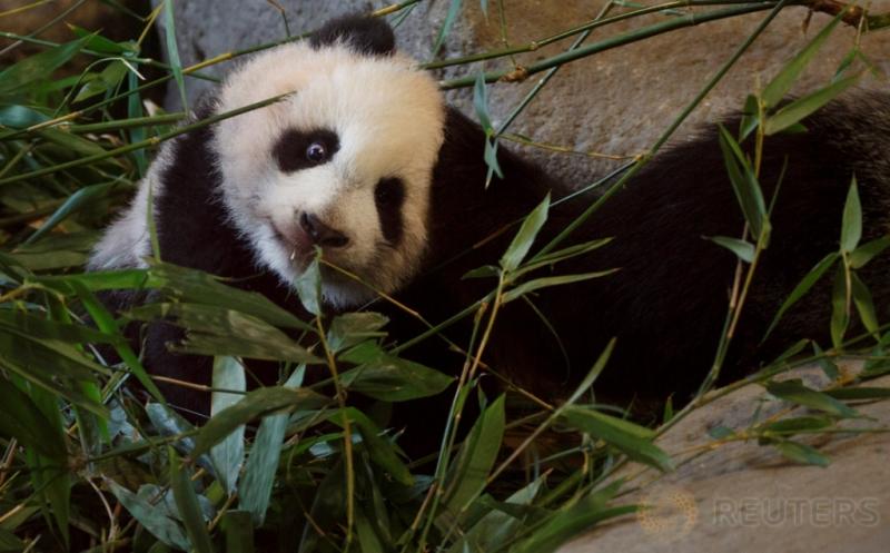 Seekor bayi panda bernama Chulina berada di antara ranting bambu di sebuah kebun binatang di Madrid, Spanyol, Kamis (12/1/2017). Chulina merupakan bayi panda betina yang lari pada Agustus lalu dari induknya bernama Hua Zui Ba. (REUTERS/Sergio Perez)