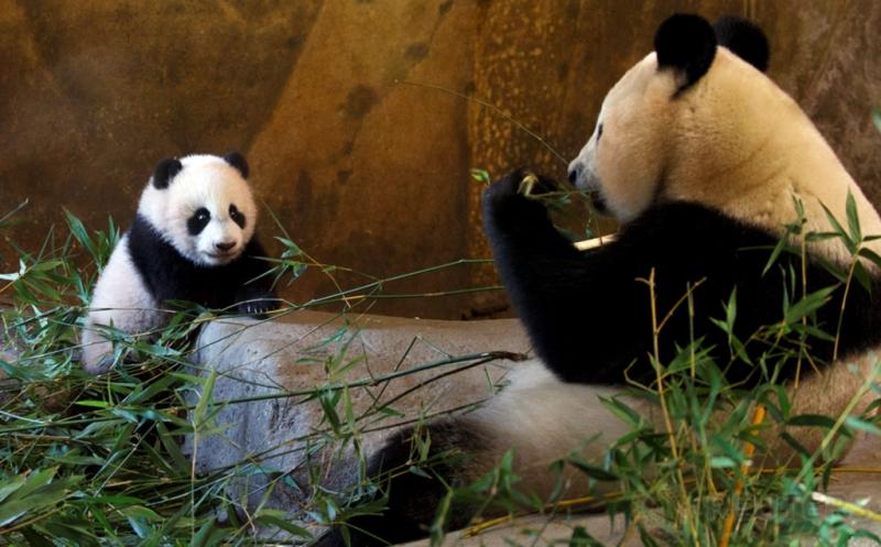 Seekor bayi panda bernama Chulina (kiri) bersama induknya Hua Zui Ba berada di sebuah kebun binatang di Madrid, Spanyol, Kamis (12/1/2017). Chulina merupakan bayi panda betina yang lari pada Agustus lalu dari induknya bernama Hua Zui Ba. (REUTERS/Sergio Perez)