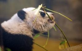 Seekor bayi panda bernama Chulina memakan ranting bambu saat berada di sebuah kebun binatang di Madrid, Spanyol, Kamis (12/1/2017). Chulina merupakan bayi panda betina yang lari pada Agustus lalu dari induknya bernama Hua Zui Ba. (REUTERS/Sergio Perez)