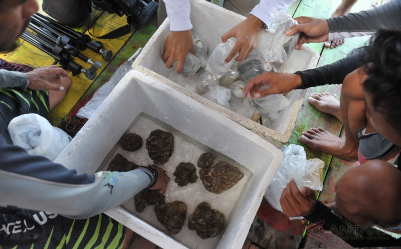 Petugas Balai Karantina Ikan Pengendalian Mutu Denpasar dan para penyelam memeriksa terumbu karang, kepiting karang dan kerang hasil sitaan menjelang dilepasliarkan di perairan Serangan, Denpasar, Bali, Jumat (13/1/2017). Balai Karantina Ikan Pengendalian Mutu Denpasar melepasliarkan terumbu karang, kepiting karang, dan kerang yaitu hasil sitaan dari warga negara Rusia karena berupaya menyelundupkan biota laut itu ke negaranya melalui Bandara Ngurah Rai.
