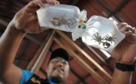 Seorang petugas Balai Karantina Ikan Pengendalian Mutu Denpasar memeriksa kondisi kepiting karang hasil sitaan menjelang dilepasliarkan di perairan Serangan, Denpasar, Bali, Jumat (13/1/2017). Balai Karantina Ikan Pengendalian Mutu Denpasar melepasliarkan terumbu karang, kepiting karang, dan kerang yaitu hasil sitaan dari warga negara Rusia karena berupaya menyelundupkan biota laut itu ke negaranya melalui Bandara Ngurah Rai.