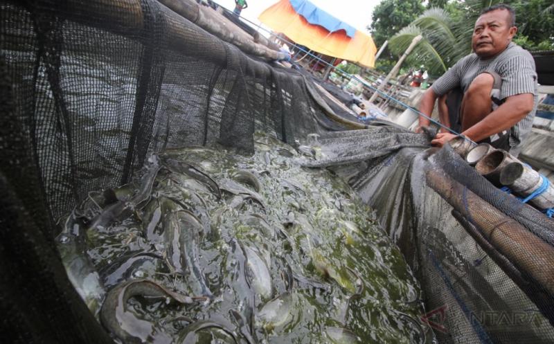 Warga memanen ikan lele jumbo di karamba miliknya di Kampung Lele Surabaya, Jawa Timur, Sabtu (14/1/2017). Hasil budidaya ikan lele karamba di Kampung tersebut untuk memenuhi kebutuhan ikan lele di Kota Surabaya yang dijual dengan harga Rp14.500 per kilogramnya.