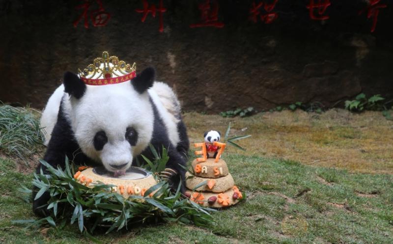 Panda Tertua di Dunia Rayakan Ultah ke-37