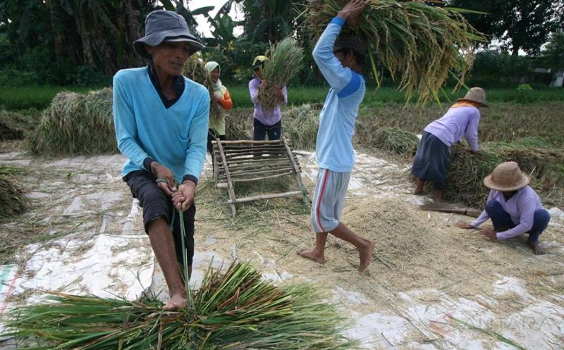 Penambahan Lahan Sawah, Pemerintah Targetkan Produksi Padi Dalam Negeri 77 Juta Ton di Tahun 2017