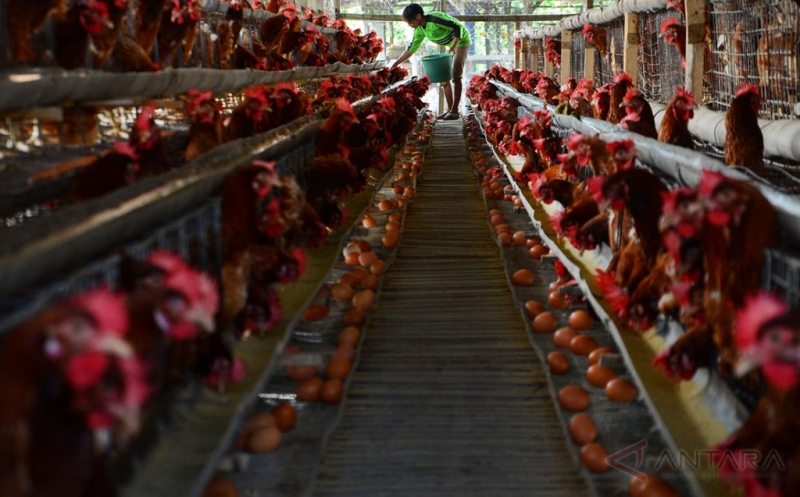 Cuaca Tidak Menentu, Produksi Ayam Petelur Turun 20%