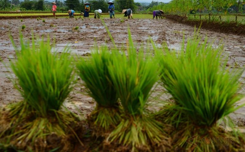 Pemerintah Alokasikan Anggaran Pupuk Bersubsidi untuk Petani Rp31,2 Triliun