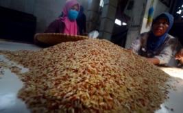 Sejumlah pekerja memilah beras organik merah di Gapoktan Simpatik, Kampung Cidahu, Kabupaten Tasikmalaya, Jawa Barat, Kamis (16/2/2017). Selain dipasarkan ke sejumlah daerah di Indonesia, beras organik hasil panen petani setempat diekspor ke sejumlah negara Eropa seperti Belgia sebanyak 6,5 ton dan Jerman 4,64 ton beras organik per bulan.
