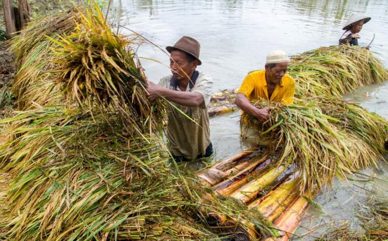 Terendam Banjir, 200 Hektar Persawahan Terancam Gagal Panen