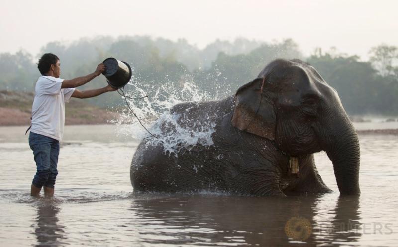 Seorang pawang gajah memandikan gajahnya di sebuah sungai di Provinsi Sayaboury, Laos, Jumat (17/2/2017). Kegiatan yang merupakan bagian dalam Festival Gajah tersebut dilakukan untuk meningkatkan kepedulian masyarakat akan kelestarian gajah. (REUTERS/Phoonsab Thevongsa)