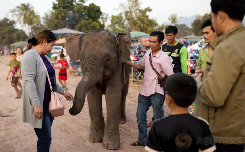 Festival Gajah di Laos, Warga Nikmati Wisata Gajah Tunggang