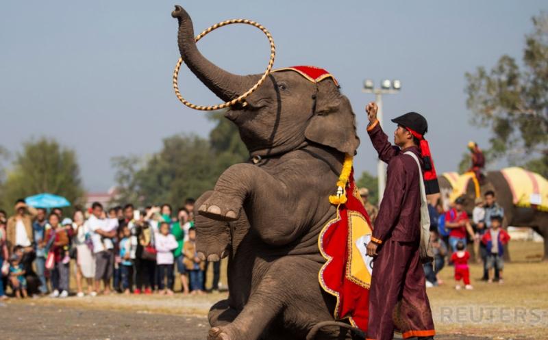 Seorang pawang mengarahkan gajahnya dalam sebuah latihan di Provinsi Sayaboury, Laos, Jumat (17/2/2017). Latihan tersebut dilakukan menjelang pembukaan Festival Gajah. (REUTERS/Phoonsab Thevongs)