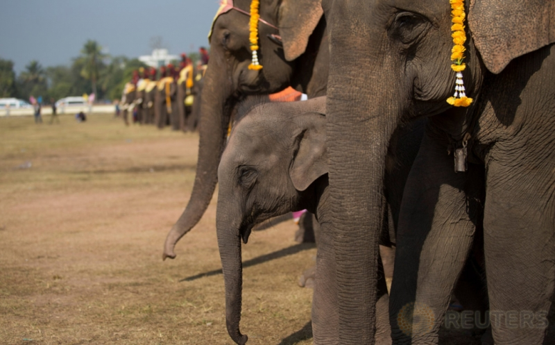 Gajah mengikuti latihan di Provinsi Sayaboury, Laos, Jumat (17/2/2017). Latihan tersebut dilakukan menjelang pembukaan Festival Gajah. (REUTERS/Phoonsab Thevongs)