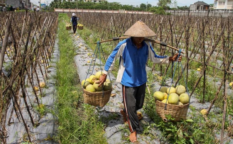 80% Buah Melon Membusuk Akibat Curah Hujan Tinggi