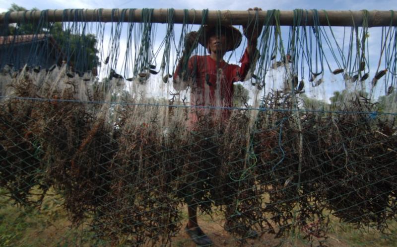 Sepekan Terakhir, Harga Rumput Laut Merangkak Naik