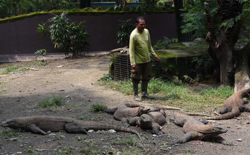 Overload, Populasi Komodo di Kebun Binatang Surabaya