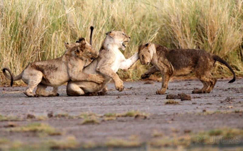 Melihat Lebih Dekat Aktivitas Satwa Taman Nasional Amboseli Kenya