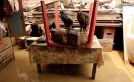 Sejumlah ayam berada di atas meja dari rumah warga yang terendam lumpur akibat banjir bandang di Huachipa, Lima, Peru, Minggu (19/3/2017) waktu setempat. (REUTERS/Mariana Bazo)