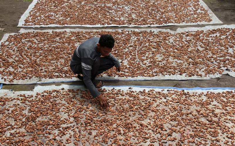 Seorang petani menjemur biji kakao di Desa Simpang Rahmat, Kecamatan Gajah Putih, Bener Meriah, Aceh, Minggu (19/3/2017). Petani mengaku sejak tiga pekan terakhir harga biji kakao mengalami penurunan harga dari Rp20.000 menjadi Rp 11.000 per kilogram akibat rendahnya kualitas karena pengaruh cuaca dan hama.