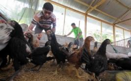 Warga binaan memilih ayam siap jual di peternakan ayam di Lembaga Pemasyarakatan (Lapas) klas IIA Gorontalo , Kota Gorontalo, Gorontalo, Senin (20/3/2017). Lapas Gorontalo menyediakan berbagai program kemandirian warga binaan Lapas, agar memiliki kemampuan dan dapat bersosialisasi serta berintegrasi kembali dengan masyarakat pascabebas nanti.