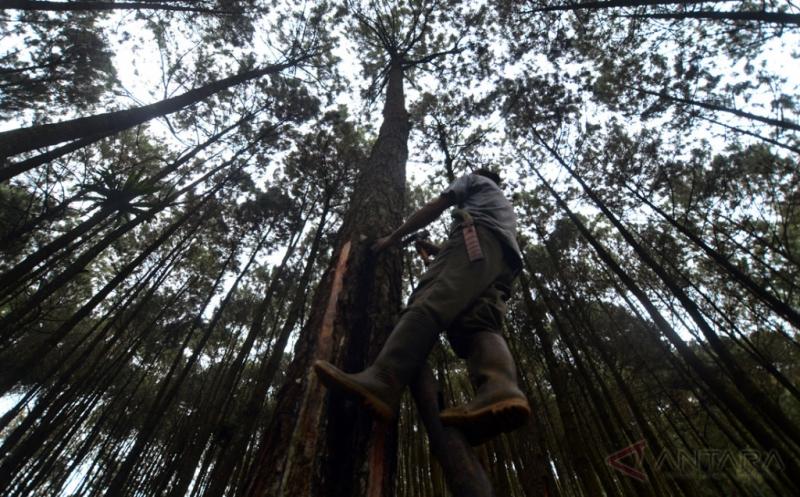 Musim Penghujan Petani Cuma Mampu Kumpulkan 8 Kuintal Getah Pinus per Bulan