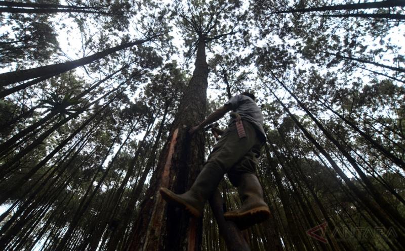 Musim Hujan Jadi Alasan Menurunnya Hasil Penyadap Getah Pinus