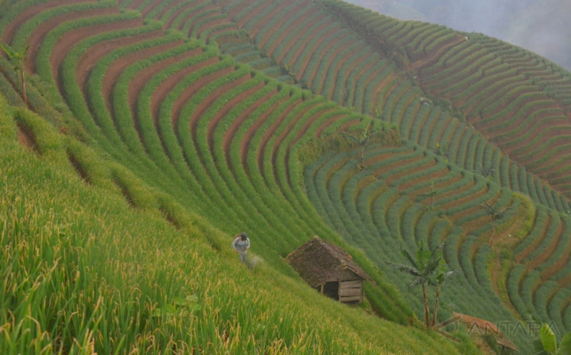 Tertata Rapi, Ladang Bawang di Lereng Gunung Ciremai