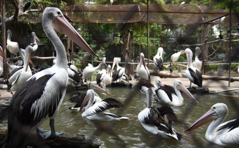 Overload, Jumlah Burung Pelikan Australia di KBS Surabaya