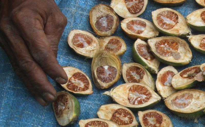 Petani menjemur buah pinang di Desa Simpang Peut, Kecamatan Arongan Lambalek, Aceh Barat, Aceh, Kamis (20/4/2017). Harga pinang kering di tingkat petani sejak dua pekan terakhir mulai membaik dari Rp9.000 per kilogram naik menjadi Rp12.000 per kilogram.