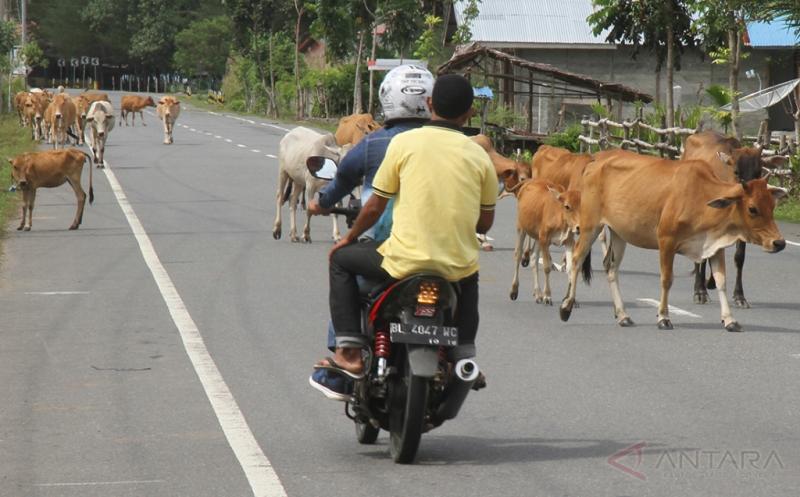 Pengendara motor berusaha menghindari hewan ternak sapi yang berkeliaran di Jalan Nasional Banda Aceh-Tapaktuan di Desa Suak Geudubang, Aceh Barat, Aceh, Kamis (20/4/2017). Keberadaan sapi yang berkeliaran tersebut dapat mengancam dan membahayakan keselamatan pengguna jalan.