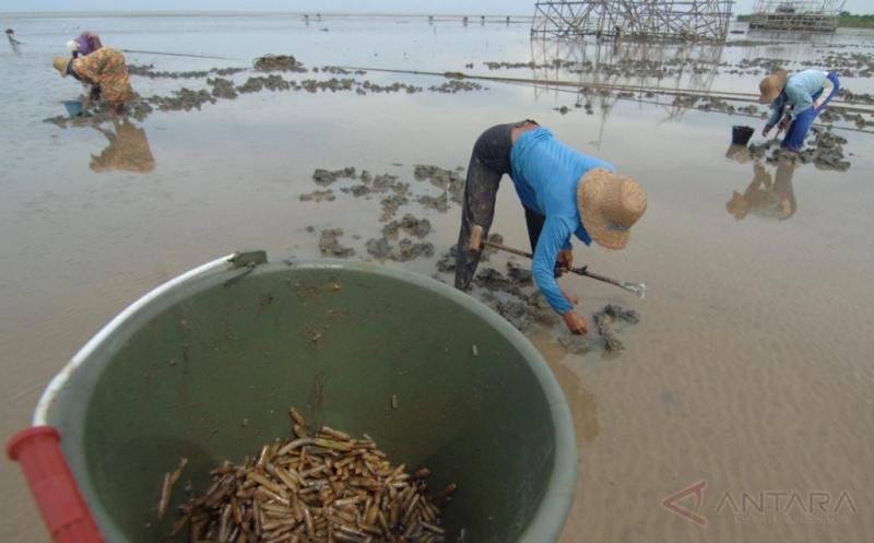 Pencarian Kerang Bambu untuk Dijadikan Bahan Panganan