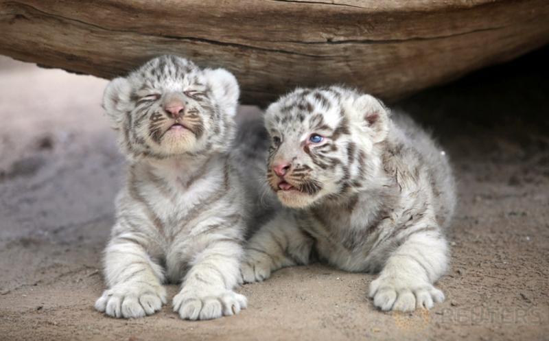 Yuk, Lihat Canda 2 Bayi Harimau Siberia di Kebun Binatang San Jorge Meksiko