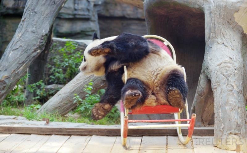 Yuk, Tengok Tingkah Lucu Panda Bermain Kursi Goyang di Kebun Binatang Beijing