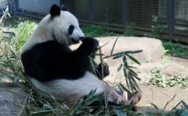 Seorang panda raksasa bernama Shin Shin berada di Kebun Binatang Ueno di Tokyo, Jepang, Jumat (19/5/2017) waktu setempat. Pejabat kebun binatang setempat mengatakan, panda berjenis kelamin perempuan tersebut sedang hamil. (REUTERS/Issei Kato)