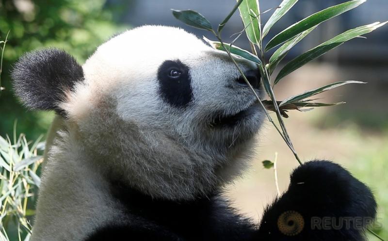 Seorang panda raksasa bernama Shin Shin memegang ranting bambu saat berada di Kebun Binatang Ueno di Tokyo, Jepang, Jumat (19/5/2017) waktu setempat. Pejabat kebun binatang setempat mengatakan, panda berjenis kelamin perempuan tersebut sedang hamil. (REUTERS/Issei Kato)