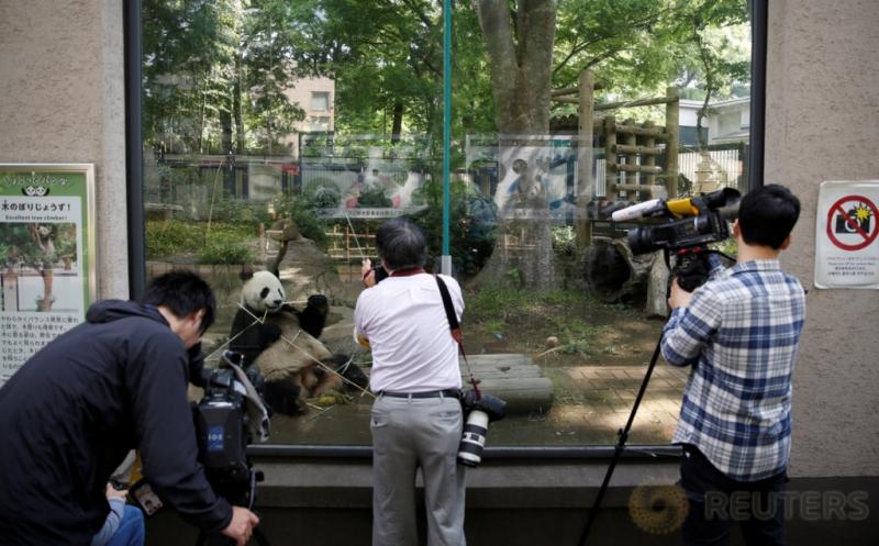 Fotografer dan kamerawan mengabadikan tingkah panda raksasa bernama Shin Shin di Kebun Binatang Ueno, Tokyo, Jepang, Jumat (19/5/2017) waktu setempat. Pejabat kebun binatang setempat memperkirakan panda berjenis kelamin perempuan tersebut sedang hamil. (REUTERS/Issei Kato)