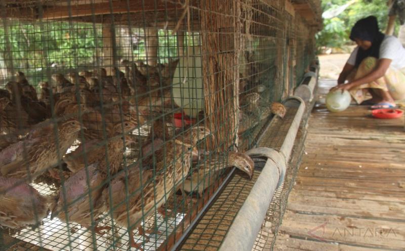 Peternak memberi pakan burung puyuh peliharaannya di Desa Matang Neuheun, Kecamatan Nurussalam, Aceh Timur, Aceh, Jumat (19/5/2017). Peternak tersebut selain menjual burung puyuh Rp15.000 per ekor juga menjual telur puyuh Rp300 per butir.