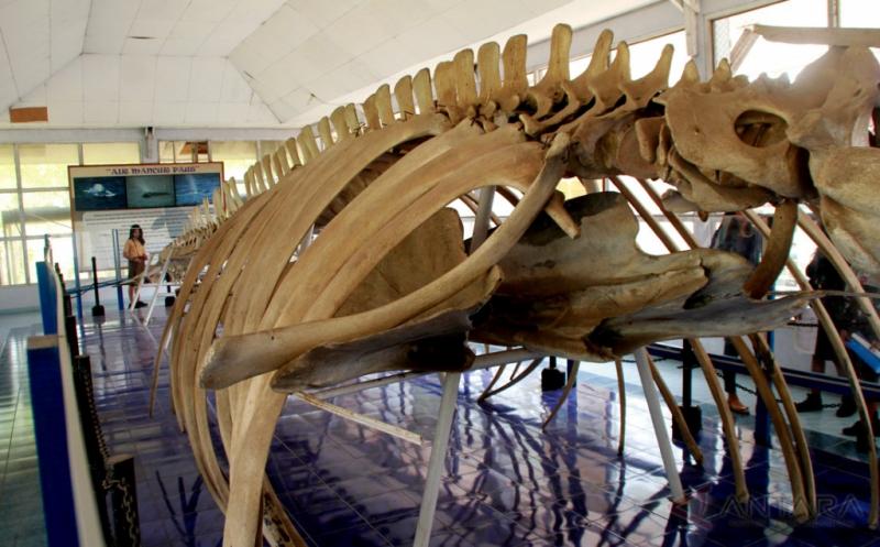 Rangka Ikan Paus Biru Berusia Puluhan Tahun
