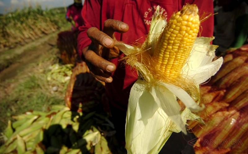 Indonesia Berpotensi Ekspor Jagung ke Malaysia Sebanyak 3 Juta Ton