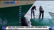 Paus Sepanjang 4 Meter Tertabrak Kapal di Perairan Papua