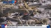 Enam Kecamatan di Sumba Diserang Belalang