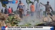 Protes Harga Rokok, Petani Demak Bakar Tanaman Tembakau